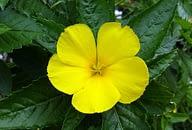 daimana leaf